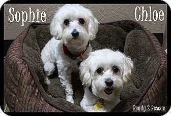 Maltese/Miniature Poodle Mix Dog for adoption in Rockwall, Texas - Chloe/Sophie