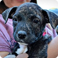 Adopt A Pet :: Abby - Sunnyvale, CA