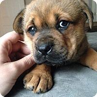 Adopt A Pet :: Gideon - Hartsville, TN