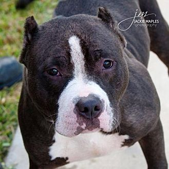 American Pit Bull Terrier/Pit Bull Terrier Mix Dog for adoption in Pearland, Texas - Cressida