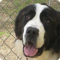 Adopt A Pet :: THEODORE 2 - Sudbury, MA