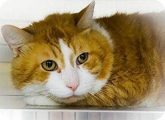 Domestic Shorthair Cat for adoption in Webster, Massachusetts - Chuckie
