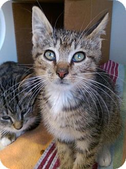 Domestic Shorthair Kitten for adoption in Brooklyn, New York - Nova