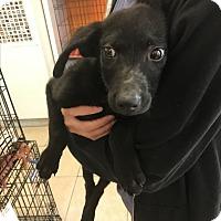 Adopt A Pet :: Shadow - Boca Raton, FL