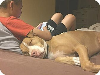 American Pit Bull Terrier Dog for adoption in tucson, Arizona - Bo