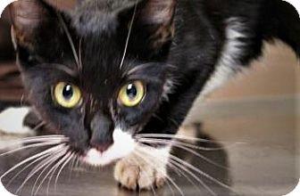 Domestic Shorthair Cat for adoption in Daytona Beach, Florida - Athena