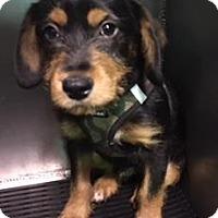 Adopt A Pet :: PATCHES - San Antonio, TX