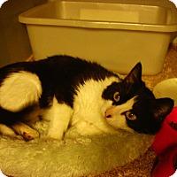 Adopt A Pet :: Cookie - Bridgeton, MO