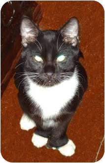 Domestic Shorthair Kitten for adoption in Hampton, Connecticut - Oreo