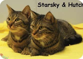 Domestic Shorthair Kitten for adoption in Merrifield, Virginia - Hutch & Starsky