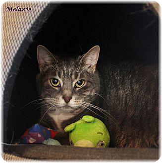 Domestic Shorthair Cat for adoption in Welland, Ontario - Melanie