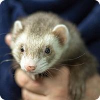 Adopt A Pet :: Curley Joe - Balch Springs, TX