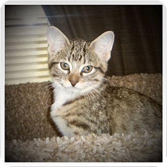 Domestic Shorthair Kitten for adoption in Medford, Wisconsin - JINX