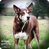 Australian Cattle Dog Mix Dog for adoption in Conroe, Texas - GINGER