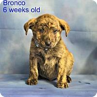 Adopt A Pet :: Bronco - Yreka, CA