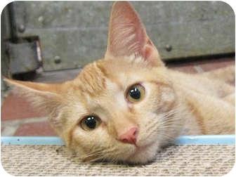 Domestic Shorthair Kitten for adoption in Centerburg, Ohio - Sunny