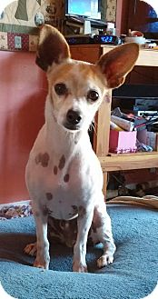 Chihuahua Mix Dog for adoption in Encinitas (San Diego), California - Milo