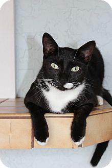Domestic Shorthair Cat for adoption in Homestead, Florida - Tiki (Fran)