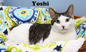 Domestic Shorthair Cat for adoption in Oakland, New Jersey - Yoshi