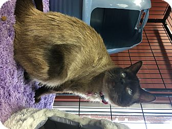 Siamese Cat for adoption in Georgetown, Delaware - Lucy Lou