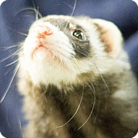 Ferret for adoption in Balch Springs, Texas - Daily