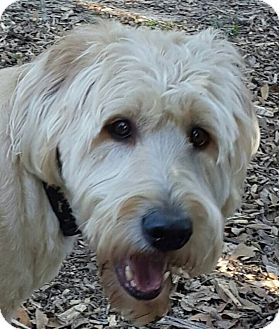 Labradoodle Mix Dog for adoption in Alpharetta, Georgia - Jack