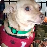 Chihuahua Mix Dog for adoption in Newnan, Georgia - Pebbles