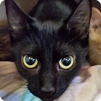 Adopt A Pet :: Blackie - Jackson, MO