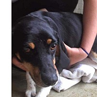 Beagle/Hound (Unknown Type) Mix Dog for adoption in Foristell, Missouri - Charlie