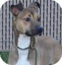 Boxer/Greyhound Mix Dog for adoption in Lincolnton, North Carolina - Bambi
