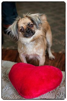 Tibetan Spaniel/Pekingese Mix Dog for adoption in Freeport, New York - Timmy