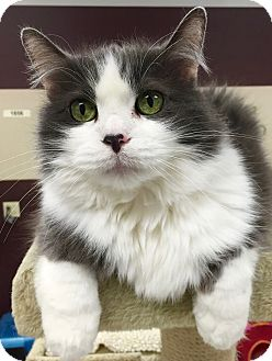 Domestic Longhair Cat for adoption in Palatine, Illinois - Tiddles