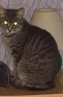 Domestic Shorthair Cat for adoption in Bear, Delaware - Stephie