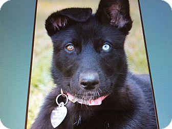 German Shepherd Dog/Australian Shepherd Mix Puppy for adoption in Los Angeles, California - LUNA MAE VON LUTZEN