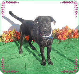 Labrador Retriever Mix Dog for adoption in Marietta, Georgia - DAISY (R)