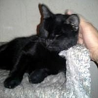 Bombay Cat for adoption in Mission Viejo, California - Buster