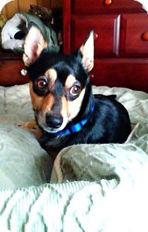 Miniature Pinscher Mix Dog for adoption in Charlotte, North Carolina - Louie