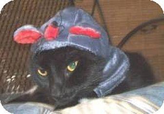 Domestic Shorthair Cat for adoption in Miami, Florida - Metro