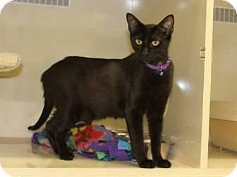 Domestic Shorthair Cat for adoption in West Dundee, Illinois - chloe