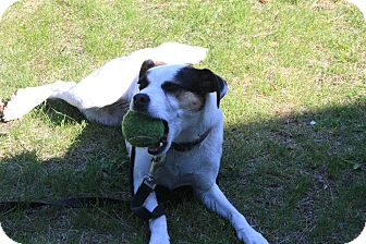 Jack Russell Terrier Dog for adoption in Montreal, Quebec - Zalie