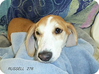 Jack Russell Terrier/Beagle Mix Dog for adoption in Waldorf, Maryland - Russell #276