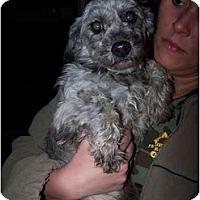 Adopt A Pet :: Tabby - Honaker, VA