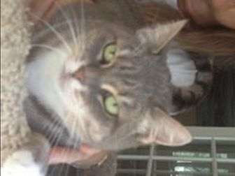 Domestic Longhair Cat for adoption in Naples, Florida - Gwen