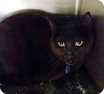 Domestic Shorthair Cat for adoption in Geneseo, Illinois - Dale