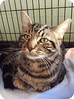 Domestic Shorthair Cat for adoption in Breinigsville, Pennsylvania - Fonzie