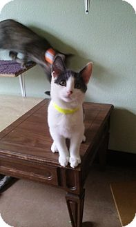 Domestic Shorthair Kitten for adoption in Montello, Wisconsin - Newton