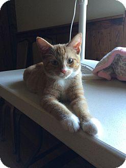 Domestic Shorthair Kitten for adoption in Salem, Ohio - stewie