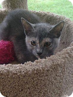 Domestic Shorthair Kitten for adoption in St. Francisville, Louisiana - Jolie