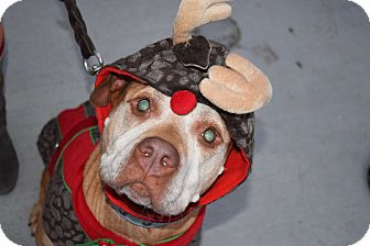 American Staffordshire Terrier Mix Dog for adoption in Baltimore, Maryland - Daisy Mae URGENT!