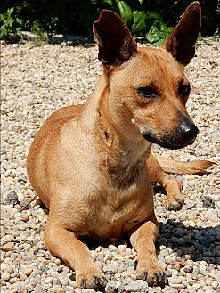 Dachshund Mix Dog for adoption in Long Beach, New York - Ruby